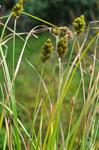Blunt Broom Sedge (Carex tribuloides)